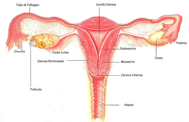 organi riproduttivi femminili